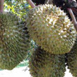 Bibit Durian Montong – BT019